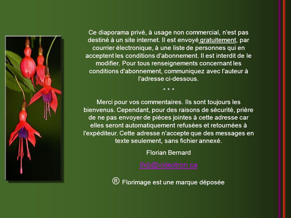 Chiquita - André Rieu Création Florian Bernard Tous droits réservés – 2005 jfxb@videotron.ca
