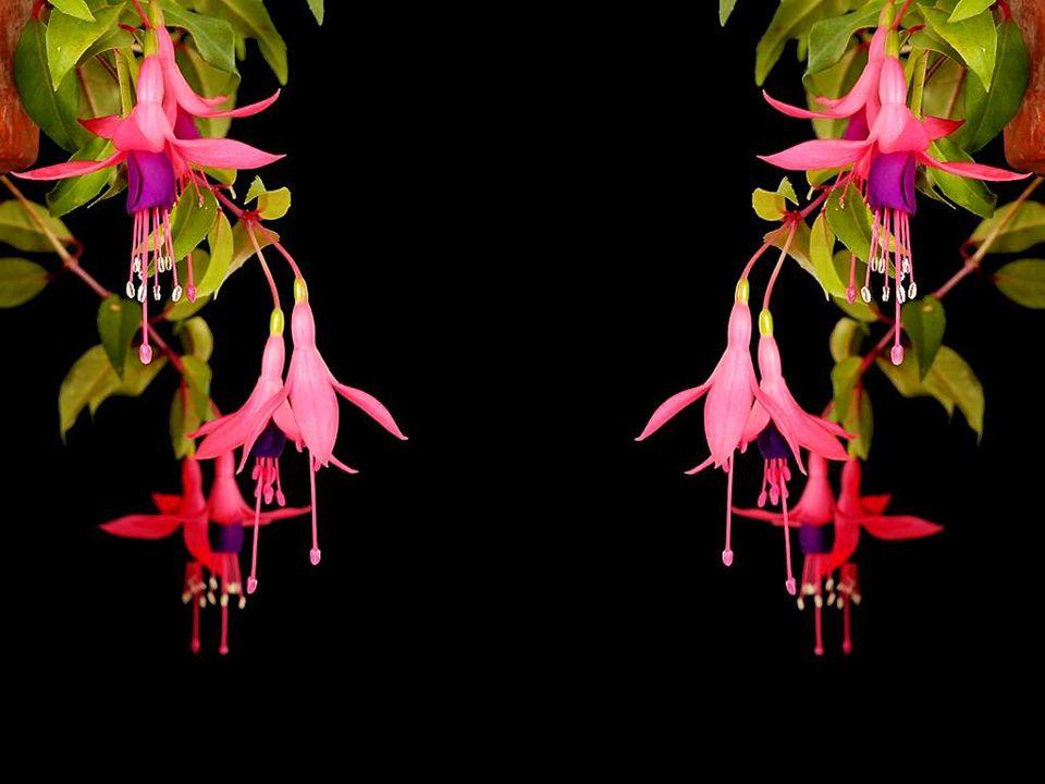 Une belle légende raconte que Dieu, après avoir créé les fleurs, sétait retrouvé avec un plein panier de «restants»; des textures, des couleurs, des p