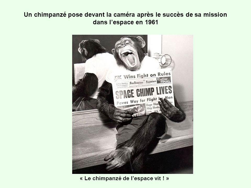 Un chimpanzé pose devant la caméra après le succès de sa mission dans lespace en 1961 « Le chimpanzé de lespace vit ! »