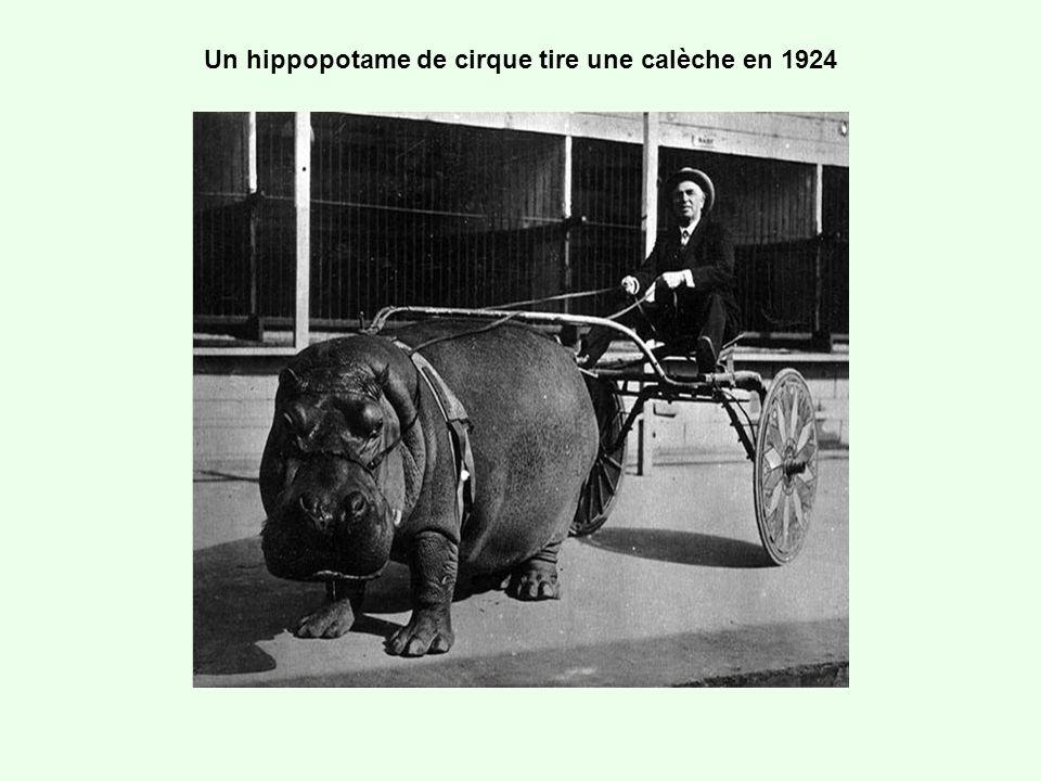 Un hippopotame de cirque tire une calèche en 1924