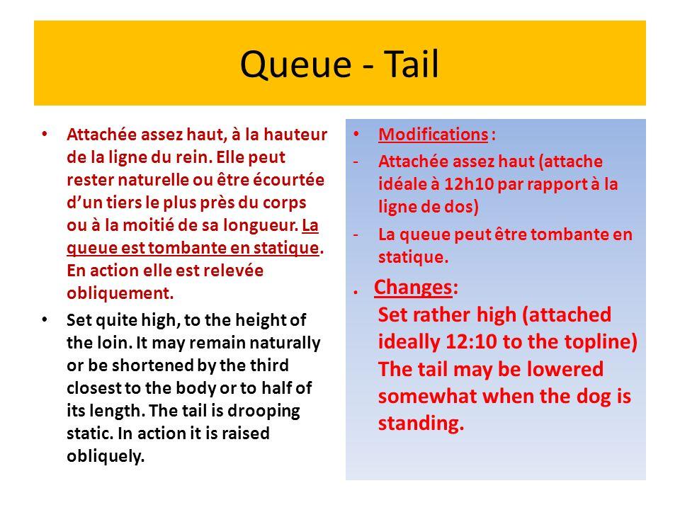 Queue - Tail Attachée assez haut, à la hauteur de la ligne du rein. Elle peut rester naturelle ou être écourtée dun tiers le plus près du corps ou à l