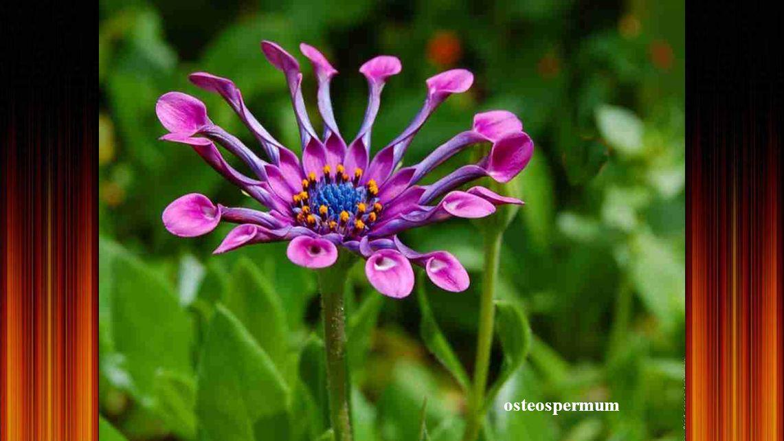 Ancolie des montagnes - Fleur assez rare, sûrement protégée