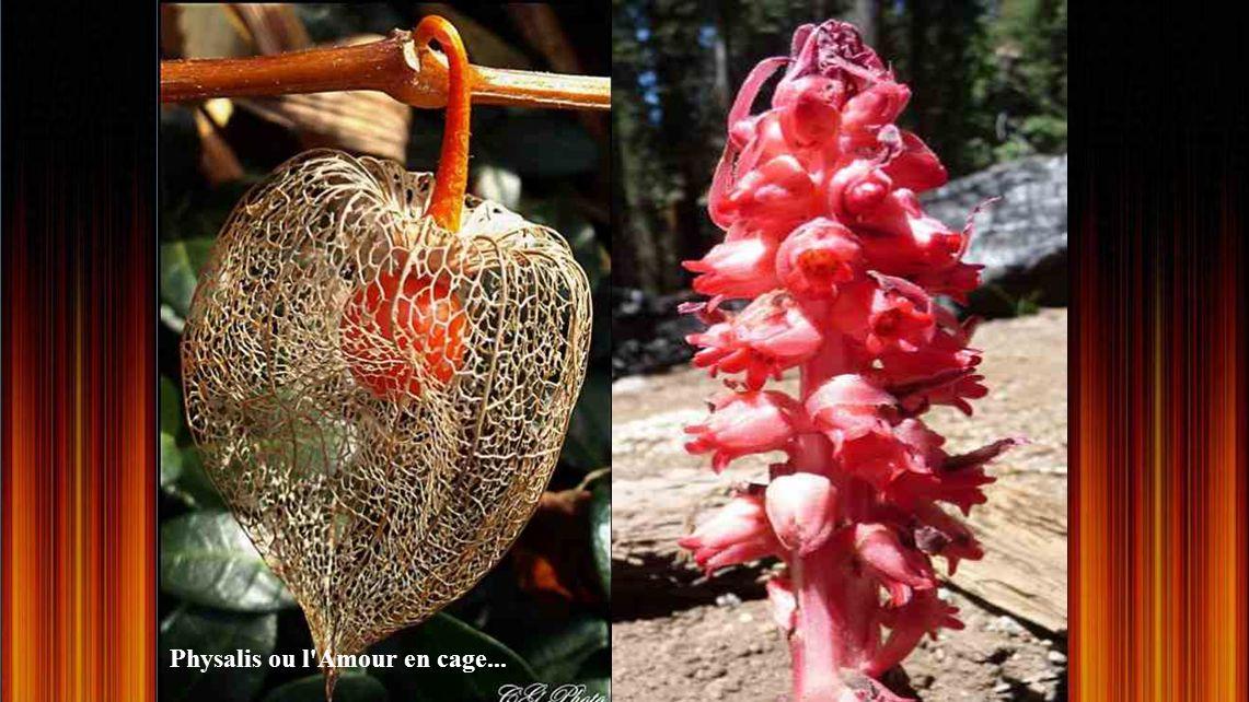 chantrieri tacca (fleur chauve- souris)