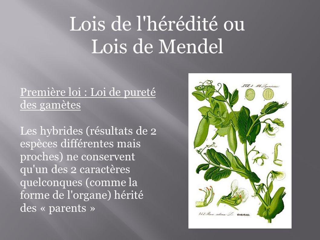 Lois de l hérédité ou Lois de Mendel Première loi : Loi de pureté des gamètes Les hybrides (résultats de 2 espèces différentes mais proches) ne conservent qu un des 2 caractères quelconques (comme la forme de l organe) hérité des « parents »