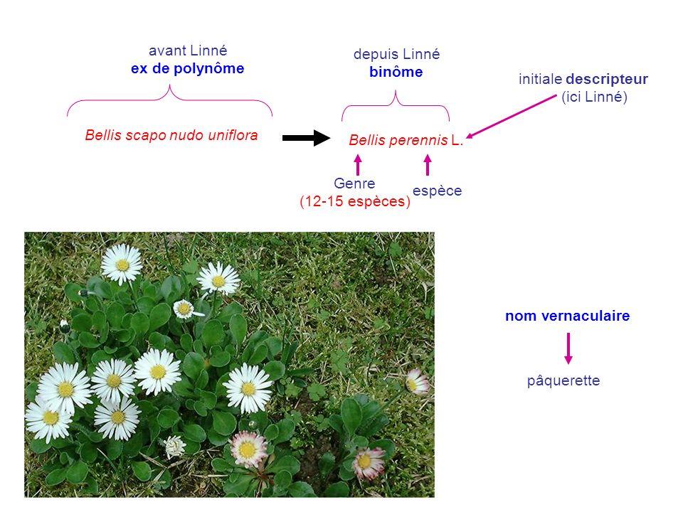 Bellis scapo nudo uniflora avant Linné ex de polynôme depuis Linné binôme Genre (12-15 espèces) espèce nom vernaculaire pâquerette initiale descripteu
