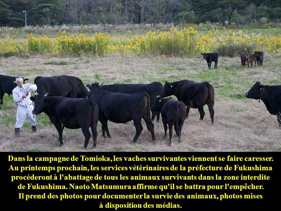 Cette autruche, baptisée Boss, est l'unique survivante de la ferme d'autruches de Okumacho. Naoto Matsumura la nourrit avec des aliments pour animaux.