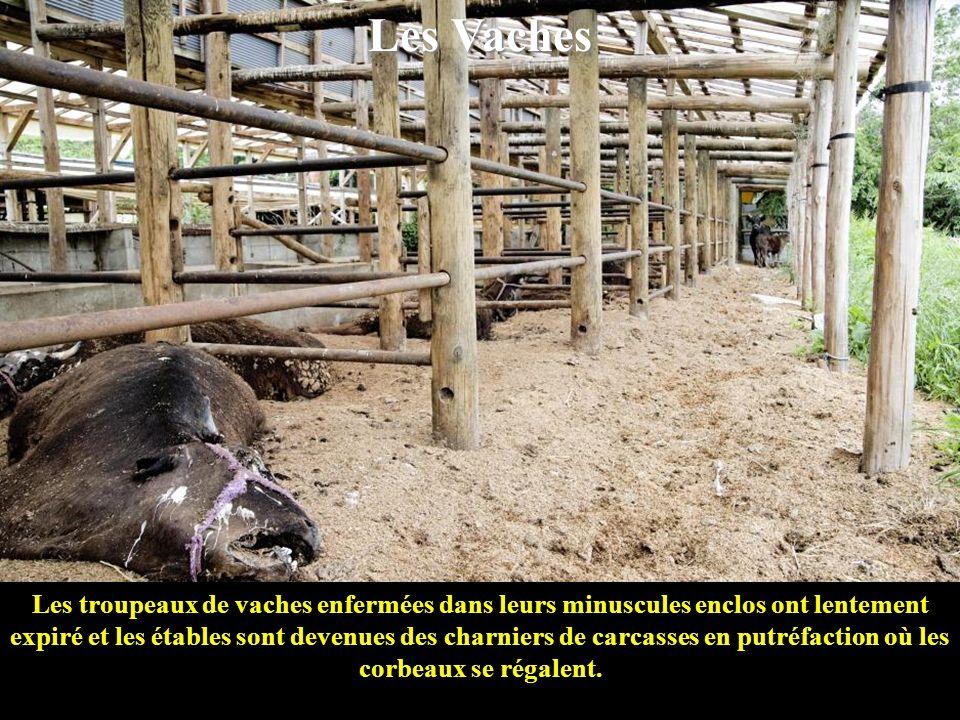 Les Vaches Les troupeaux de vaches enfermées dans leurs minuscules enclos ont lentement expiré et les étables sont devenues des charniers de carcasses en putréfaction où les corbeaux se régalent.