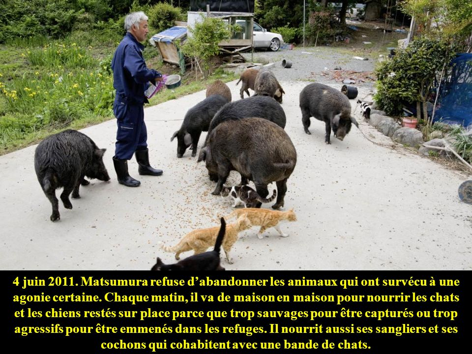Dans la campagne de Tomioka, les vaches survivantes viennent se faire caresser.