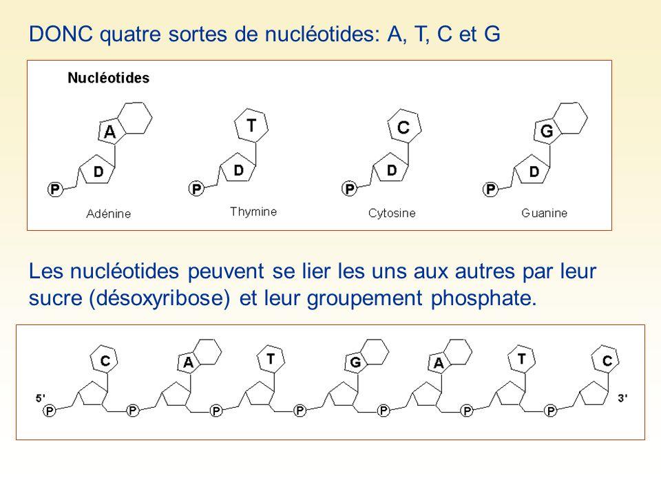 DONC quatre sortes de nucléotides: A, T, C et G Les nucléotides peuvent se lier les uns aux autres par leur sucre (désoxyribose) et leur groupement ph