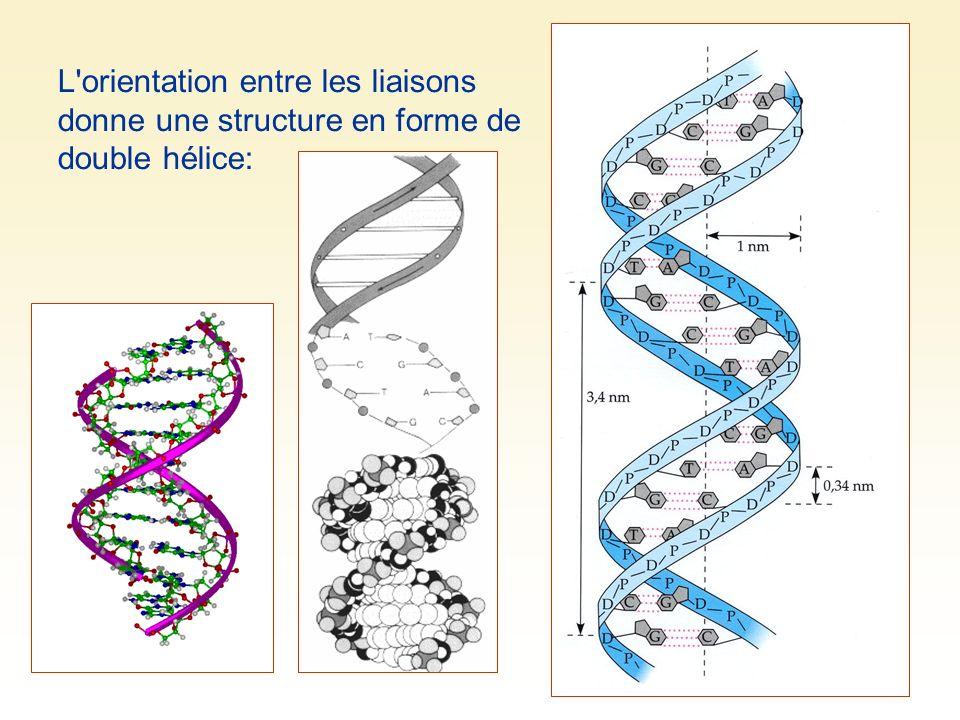 L'orientation entre les liaisons donne une structure en forme de double hélice: