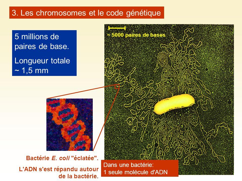 5 millions de paires de base. Longueur totale ~ 1,5 mm Bactérie E. coli