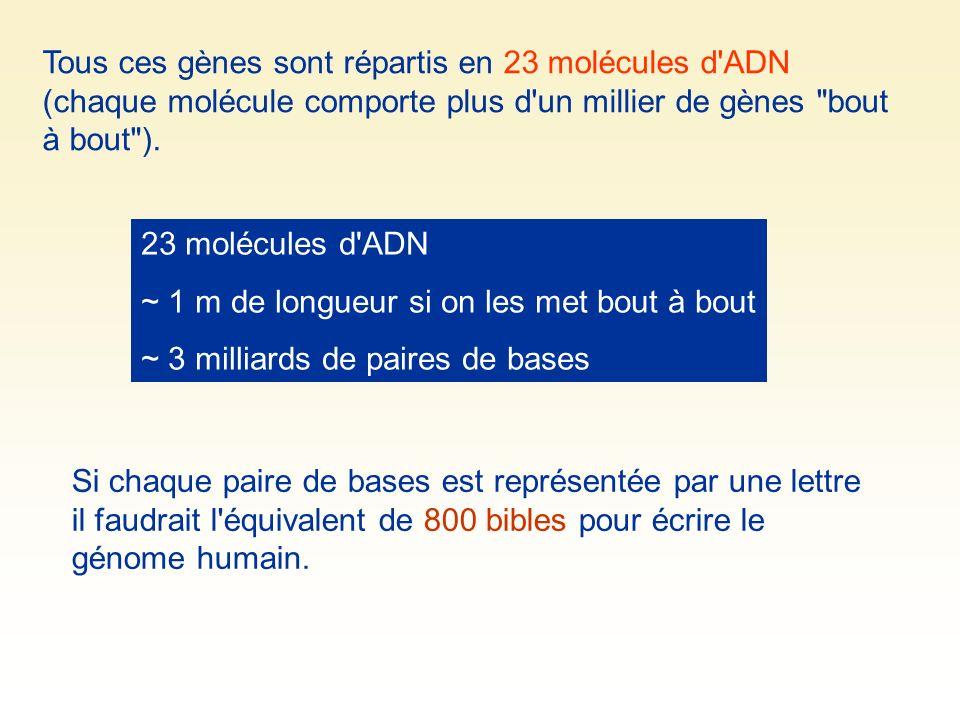23 molécules d'ADN ~ 1 m de longueur si on les met bout à bout ~ 3 milliards de paires de bases Tous ces gènes sont répartis en 23 molécules d'ADN (ch
