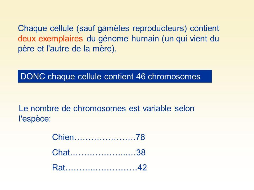 Chaque cellule (sauf gamètes reproducteurs) contient deux exemplaires du génome humain (un qui vient du père et l'autre de la mère). DONC chaque cellu