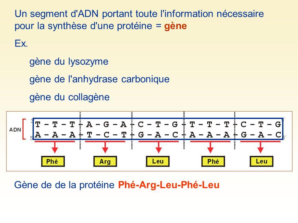 Un segment d'ADN portant toute l'information nécessaire pour la synthèse d'une protéine = gène Ex. gène du lysozyme gène de l'anhydrase carbonique gèn