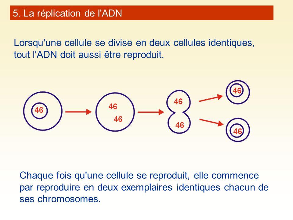 5. La réplication de l'ADN Lorsqu'une cellule se divise en deux cellules identiques, tout l'ADN doit aussi être reproduit. Chaque fois qu'une cellule