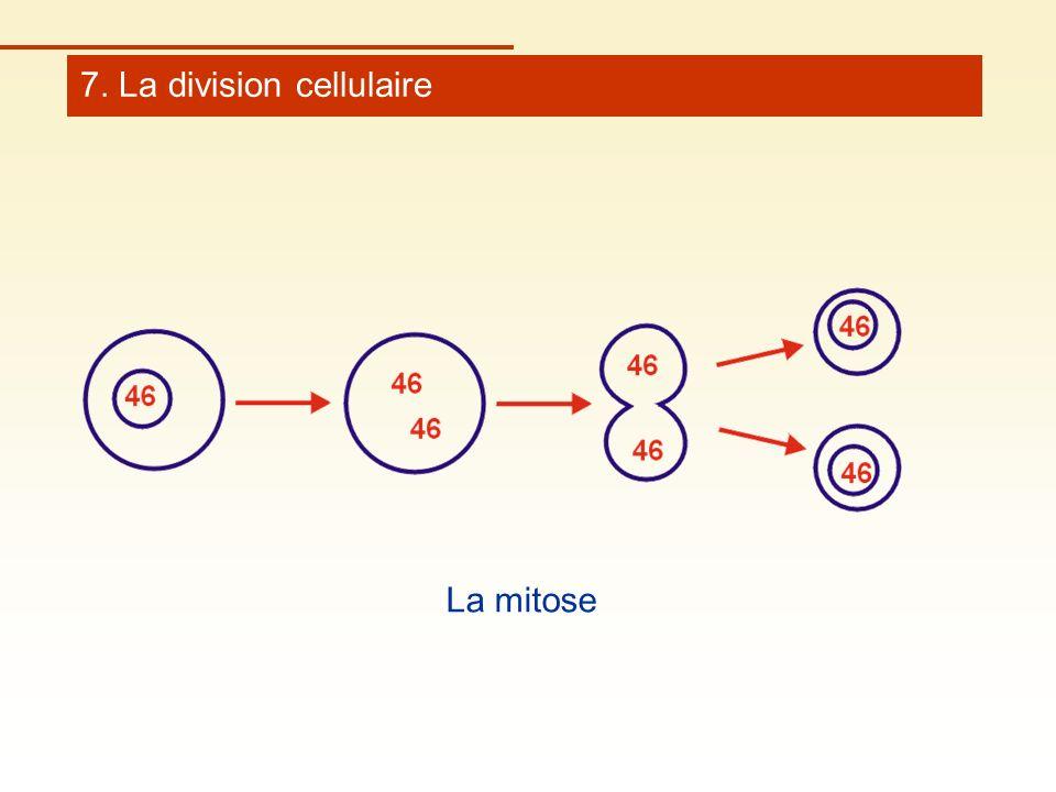 7. La division cellulaire La mitose