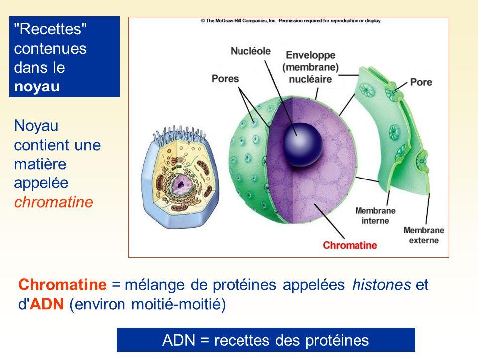 Recettes contenues dans le noyau Noyau contient une matière appelée chromatine Chromatine = mélange de protéines appelées histones et d ADN (environ moitié-moitié) ADN = recettes des protéines