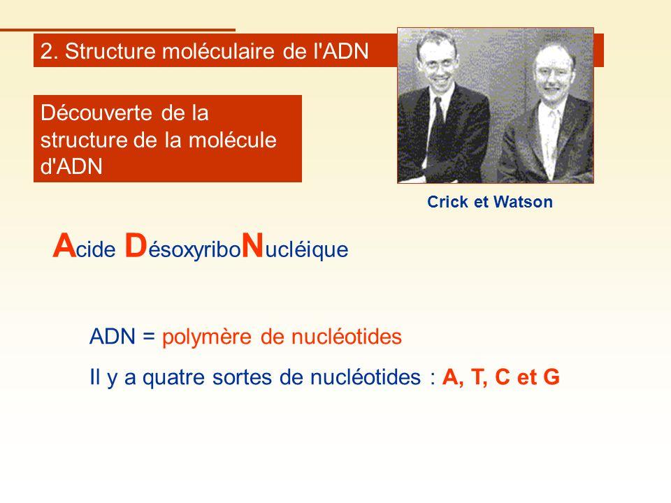 2. Structure moléculaire de l'ADN Découverte de la structure de la molécule d'ADN ADN = polymère de nucléotides Il y a quatre sortes de nucléotides :