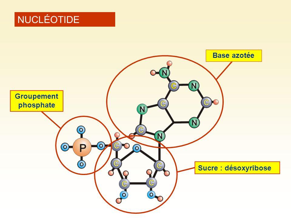NUCLÉOTIDE Base azotée Sucre : désoxyribose Groupement phosphate