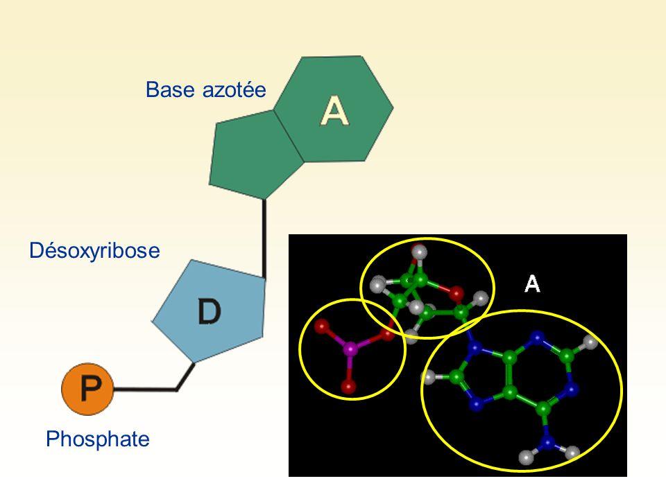 L ADN est séparé en deux brins Des nucléotides libres dans le noyau (pièces de constructions toujours présentes) viennent sapparier à chacun des deux brins (A avec T et C avec G)