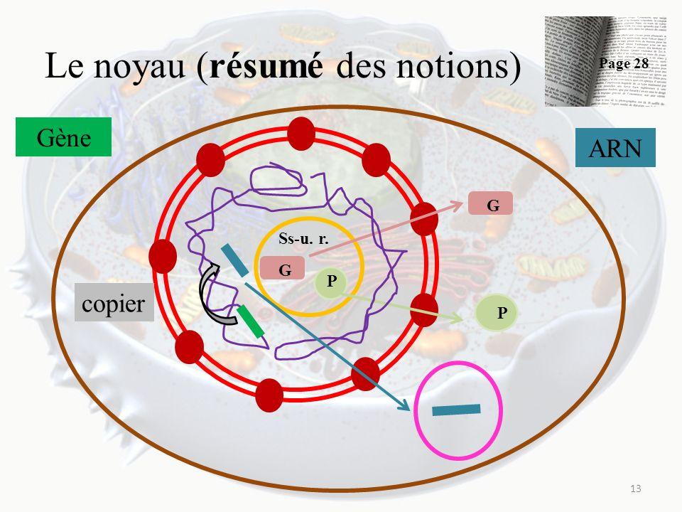 Le noyau (résumé des notions) 13 Ss-u. r. G P G P Gène copier ARN Page 28