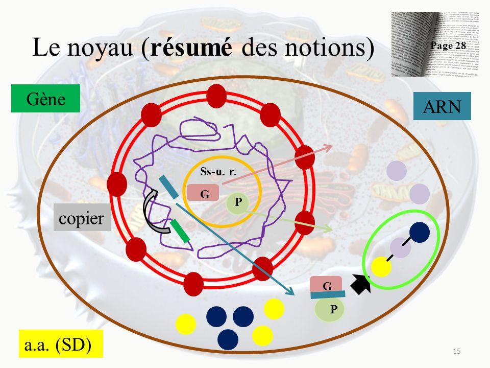 Le noyau (résumé des notions) 15 Ss-u. r. G P G P Gène copier ARN a.a. (SD) Page 28