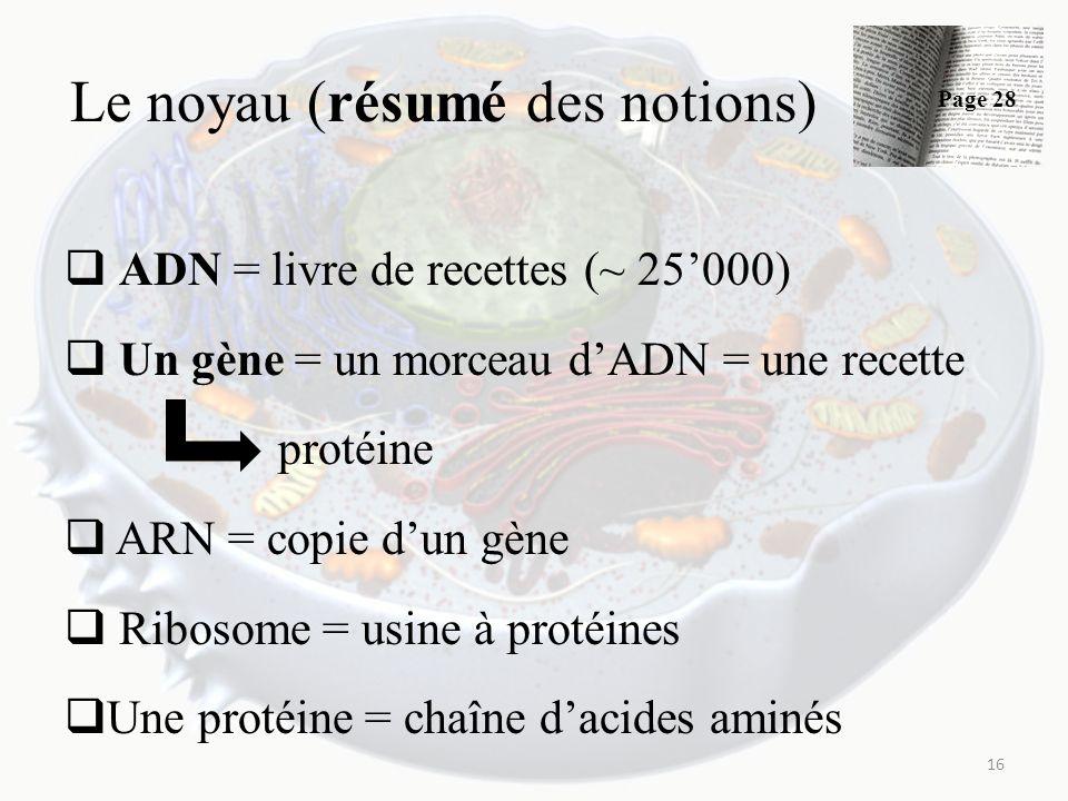 Le noyau (résumé des notions) ADN = livre de recettes (~ 25000) Un gène = un morceau dADN = une recette protéine ARN = copie dun gène Ribosome = usine