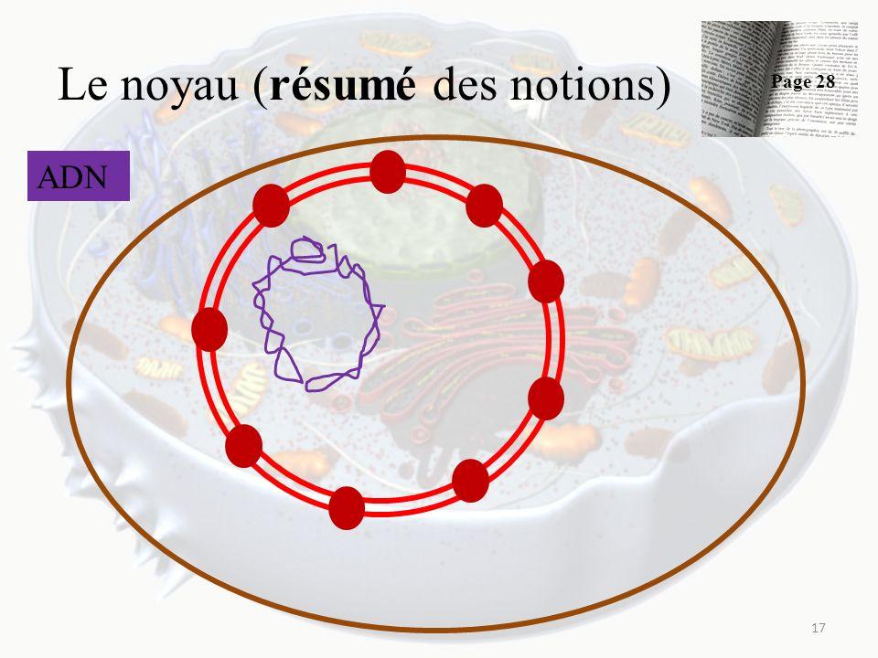 Le noyau (résumé des notions) 17 ADN Page 28