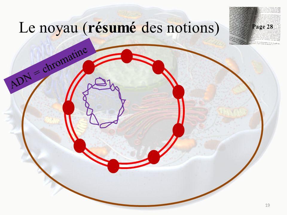 Le noyau (résumé des notions) 19 ADN = chromatine Page 28