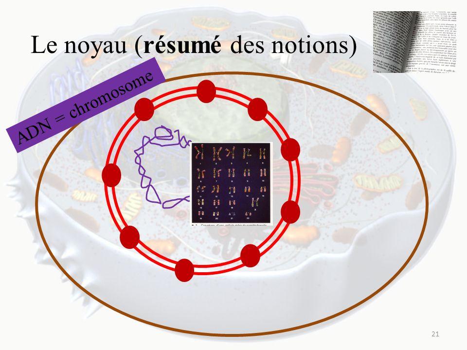 Le noyau (résumé des notions) 21 ADN = chromosome