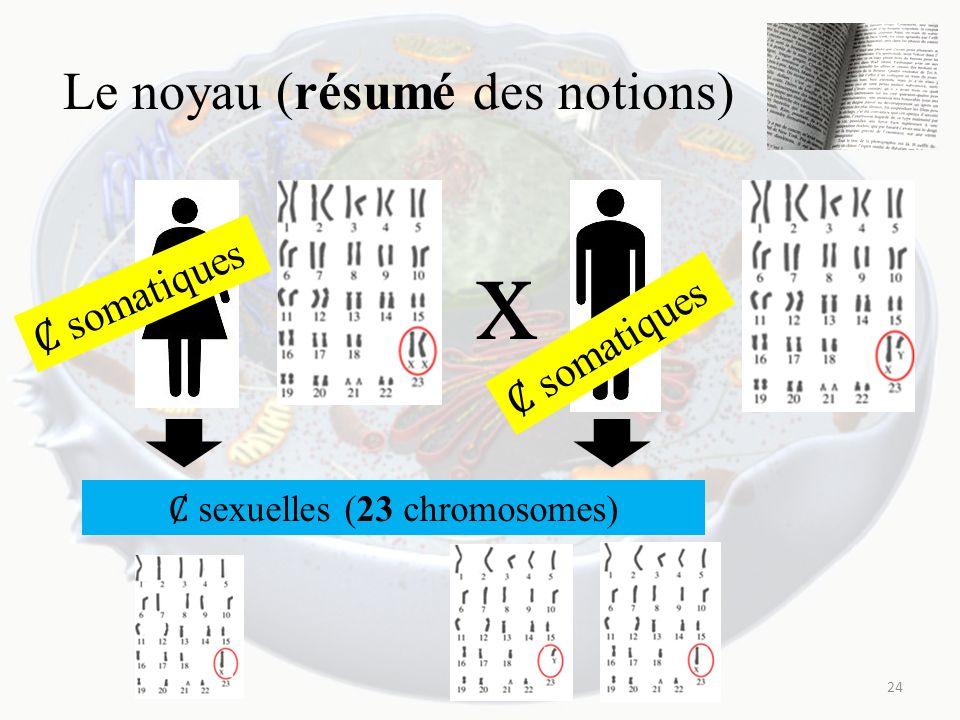 Le noyau (résumé des notions) 24 x somatiques sexuelles (23 chromosomes)