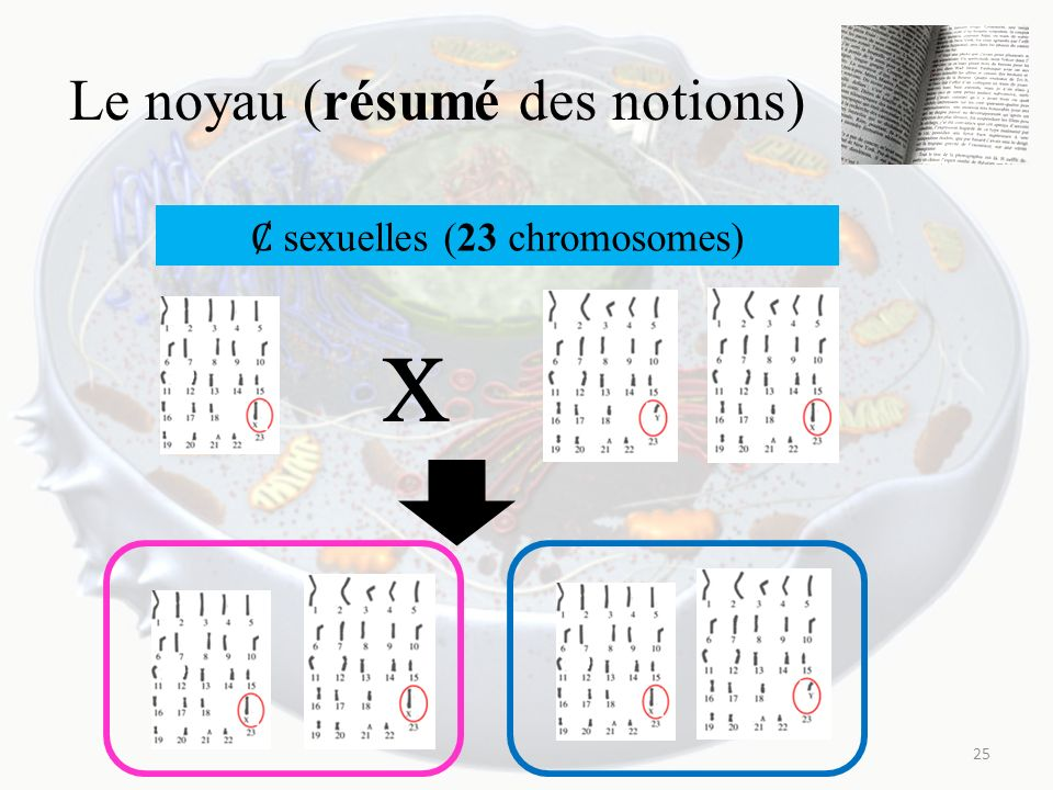 Le noyau (résumé des notions) 25 x sexuelles (23 chromosomes)