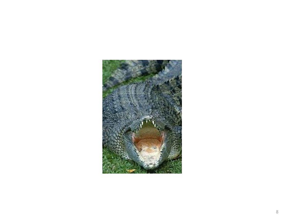 Reptile carnivore Couvert décailles Trapu À pattes courtes Grandes mâchoires et dents Soleil/eau Sous-Classe des Archosauriens Ordre des Crocodiliens Super-Classe des Reptiles LACOSTE gnou 9