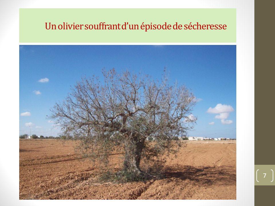 Un olivier souffrant dun épisode de sécheresse 7
