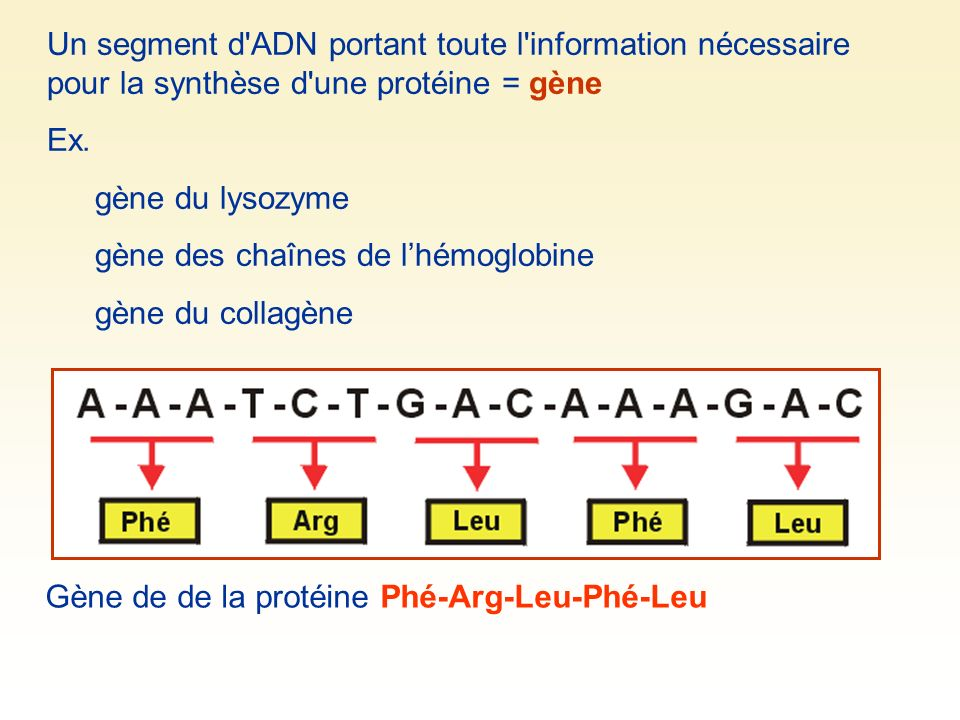 Un segment d'ADN portant toute l'information nécessaire pour la synthèse d'une protéine = gène Ex. gène du lysozyme gène des chaînes de lhémoglobine g