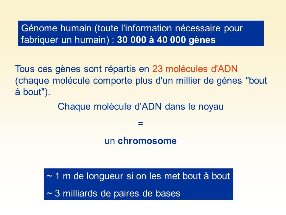 Génome humain (toute l'information nécessaire pour fabriquer un humain) : 30 000 à 40 000 gènes Tous ces gènes sont répartis en 23 molécules d'ADN (ch