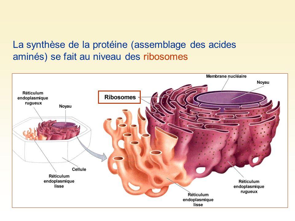 La synthèse de la protéine (assemblage des acides aminés) se fait au niveau des ribosomes