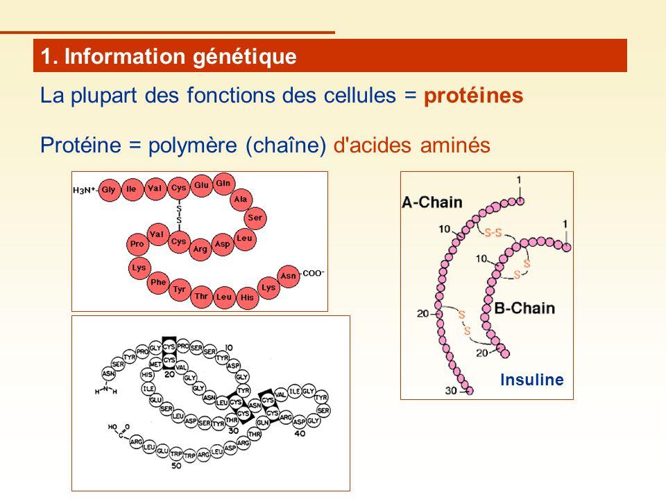 1. Information génétique La plupart des fonctions des cellules = protéines Protéine = polymère (chaîne) d'acides aminés Insuline