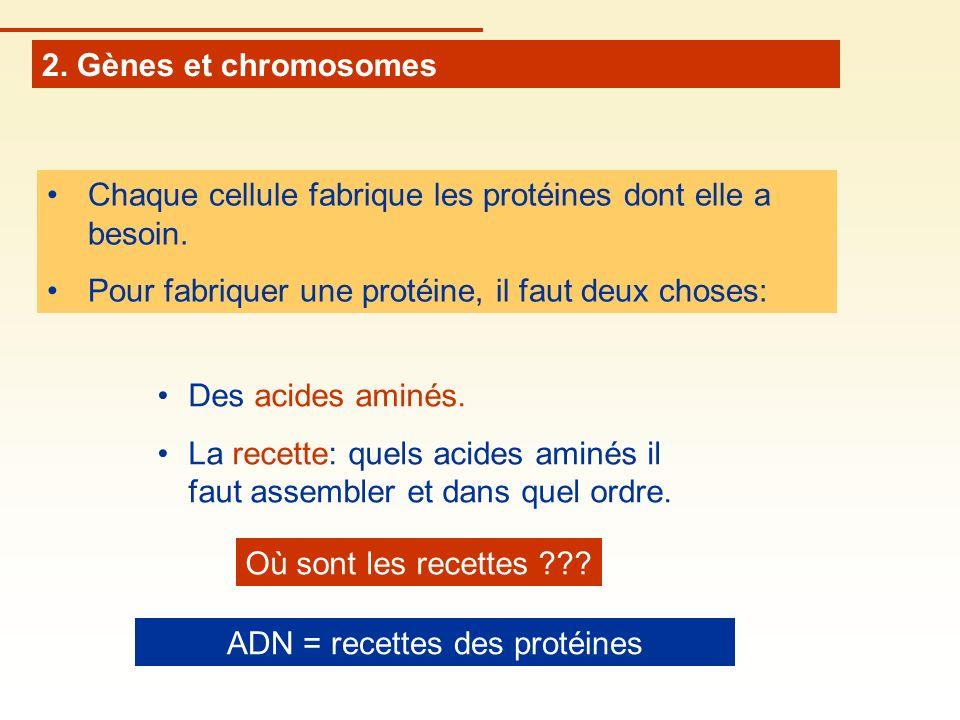 2. Gènes et chromosomes Chaque cellule fabrique les protéines dont elle a besoin. Pour fabriquer une protéine, il faut deux choses: Des acides aminés.