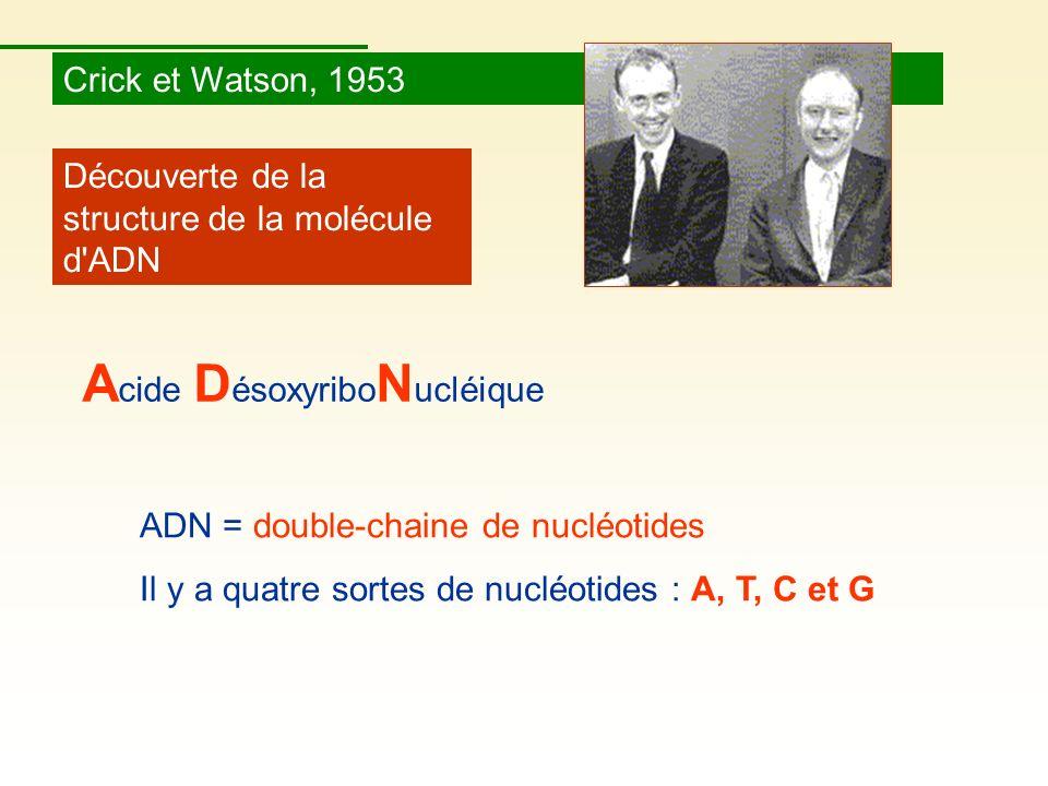 Crick et Watson, 1953 Découverte de la structure de la molécule d'ADN ADN = double-chaine de nucléotides Il y a quatre sortes de nucléotides : A, T, C