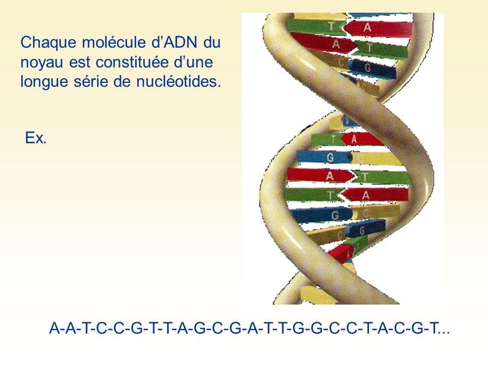 Chaque molécule dADN du noyau est constituée dune longue série de nucléotides. Ex. A-A-T-C-C-G-T-T-A-G-C-G-A-T-T-G-G-C-C-T-A-C-G-T...