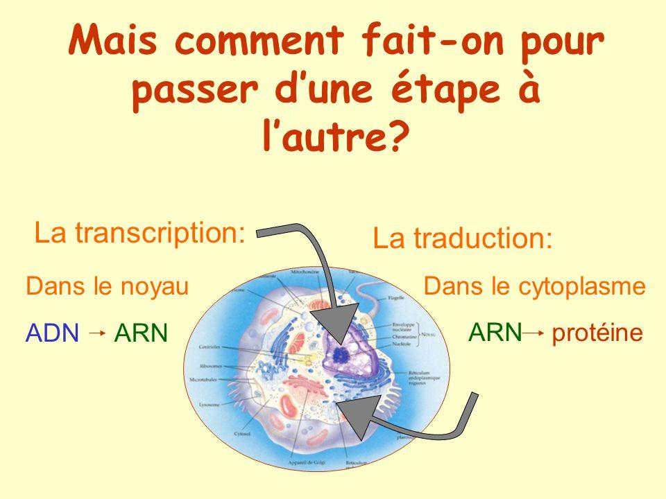 La transcription: Dans le noyau ADN ARN La traduction: Dans le cytoplasme ARN protéine