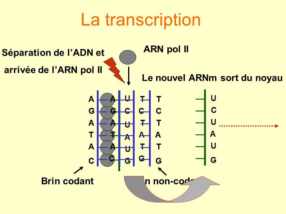 G AU U C U C G A T T A A T G C Brin codantBrin non-codant G U A U C U Le nouvel ARNm sort du noyau G T A T C T C A T A G A Séparation de lADN et arriv