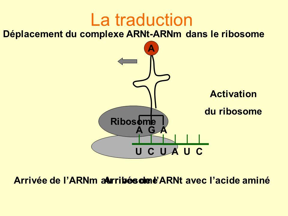Ribosome U C U A U C A G A A Arrivée de lARNm au ribosome Activation du ribosome Arrivée de lARNt avec lacide aminé Déplacement du complexe ARNt-ARNm