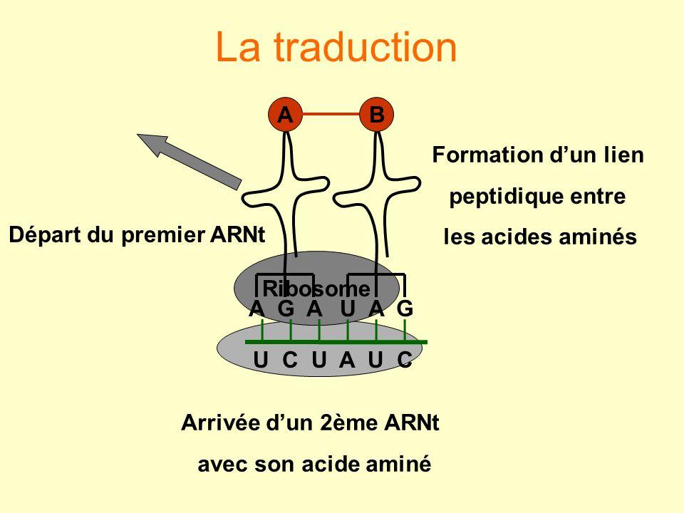 La traduction Ribosome U C U A U C U A G B A G A A Arrivée dun 2ème ARNt avec son acide aminé Formation dun lien peptidique entre les acides aminés Dé