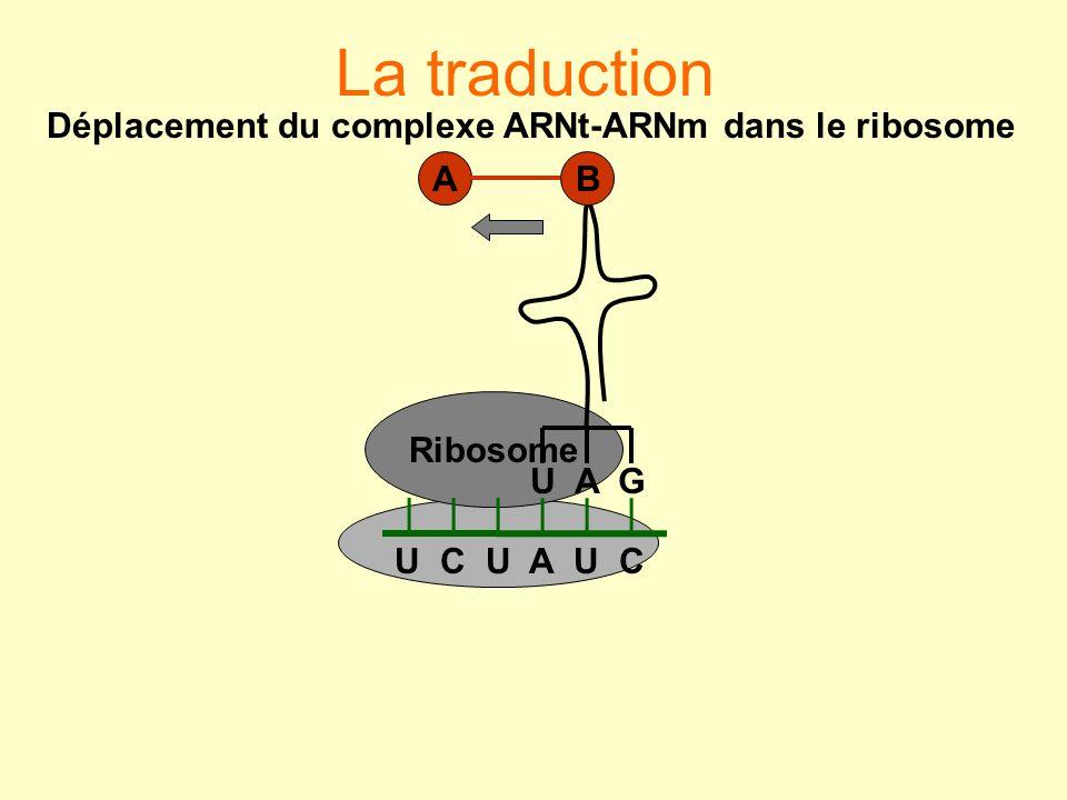 La traduction Ribosome U C U A U C U A G BA Déplacement du complexe ARNt-ARNm dans le ribosome