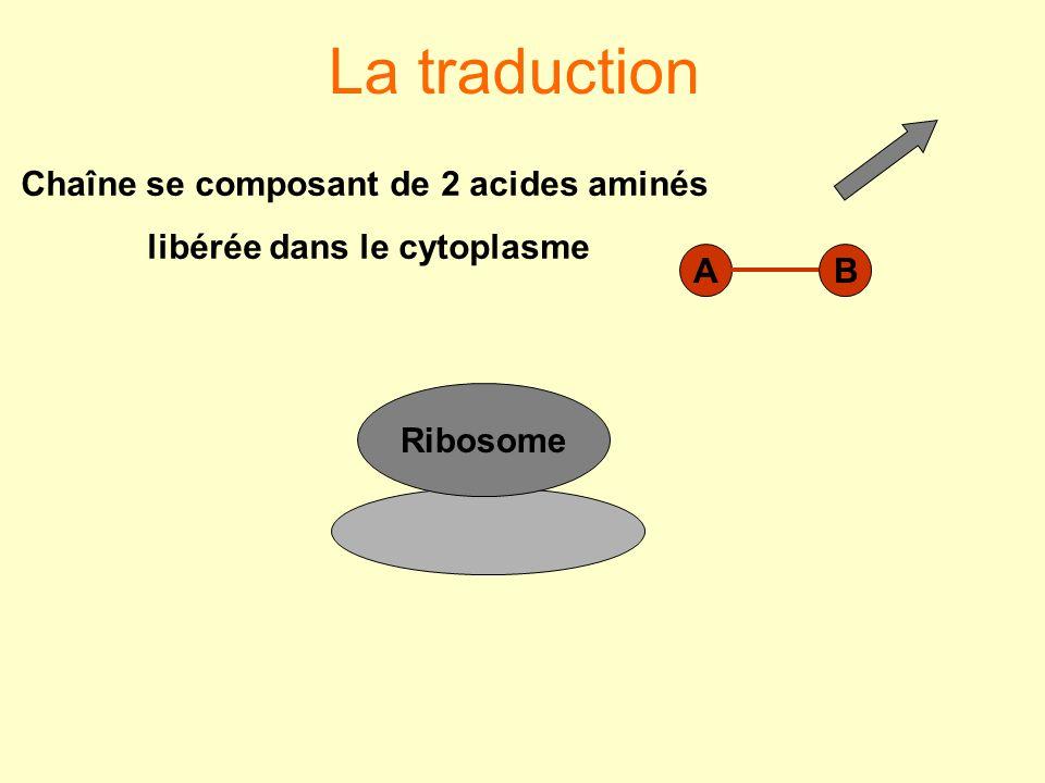La traduction Ribosome AB Chaîne se composant de 2 acides aminés libérée dans le cytoplasme