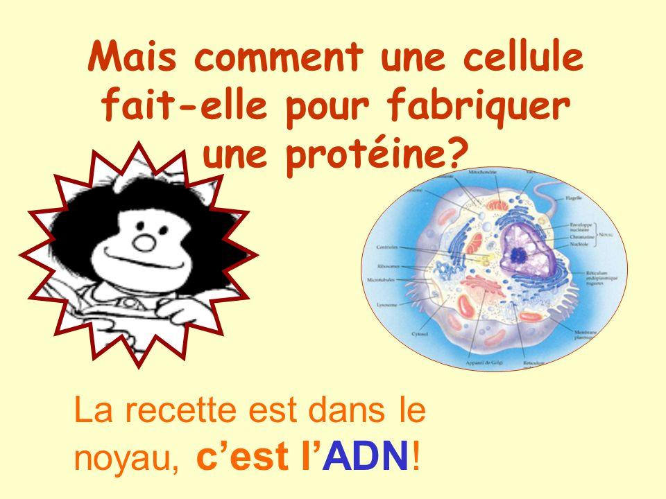 Mais comment une cellule fait-elle pour fabriquer une protéine? La recette est dans le noyau, cest lADN!