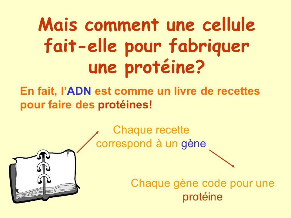 Mais comment une cellule fait-elle pour fabriquer une protéine? En fait, lADN est comme un livre de recettes pour faire des protéines! Chaque recette