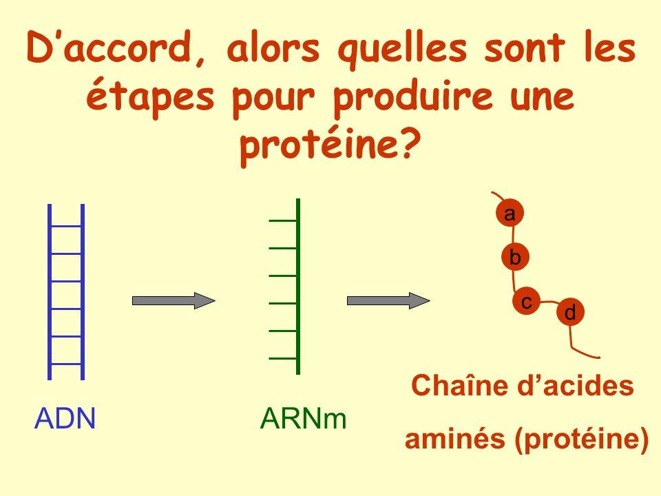 ADN ARNm a b d c Chaîne dacides aminés (protéine)